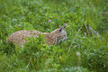 Bobcat in grassy meadow Stock Image