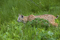 Bobcat in grassy meadow Stock Photos