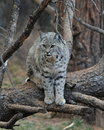 Bobcat an image of a on a tree Royalty Free Stock Images