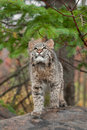 Bobcat kitten looks up from atop log lynx rufus captive animal Royalty Free Stock Image