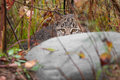 Bobcat kitten luchs rufus versteckt sich hinter felsen Lizenzfreies Stockfoto