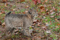 Bobcat kitten lynx rufus looks right captive animal Royalty Free Stock Photography