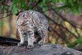 Bobcat kitten lynx rufus looks right captive animal Royalty Free Stock Photos