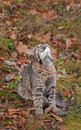 Bobcat kitten lynx rufus looks up captive animal Royalty Free Stock Photos