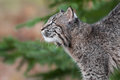 Bobcat kitten lynx rufus looks up and left captive animal Royalty Free Stock Image