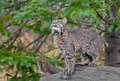 Bobcat kitten lynx rufus looks up from log captive animal Royalty Free Stock Photo