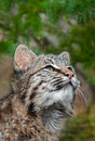 Bobcat kitten lynx rufus looks way up captive animal copy space top Stock Photos