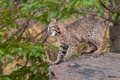 Bobcat kitten lynx rufus prepares to leap captive animal Royalty Free Stock Photography