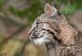 Bobcat Kitten (Lynx rufus) Profile Royalty Free Stock Photo