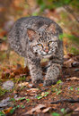 Bobcat kitten lynx rufus stalk captive animal Royalty Free Stock Photography