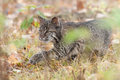 Bobcat kitten lynx rufus stalks through grass captive animal out of focus grasses in foreground Stock Images