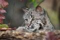 Bobcat kitten rufus de lynx regarde au dessus du rondin Images stock