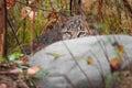 Bobcat kitten rufus del lince oculta detrás de roca Foto de archivo libre de regalías