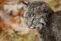 Bobcat kitten rufus di lynx fissa a sinistra Fotografie Stock Libere da Diritti