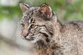 Bobcat kitten rufus di lynx guarda a sinistra Fotografie Stock