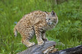 Bobcat Lynx rufus Stock Photo