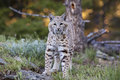 Bobcat Lynx rufus approaching Royalty Free Stock Photo