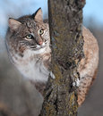 Bobcat lynx rufus behind branch captive animal Stock Photo