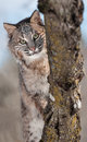 Bobcat lynx rufus behind branches captive animal Royalty Free Stock Image
