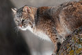 Bobcat lynx rufus on branch captive animal Stock Image