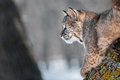 Bobcat lynx rufus on branch looking left captive animal copy space Stock Image