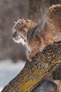 Bobcat lynx rufus on branch profile captive animal Stock Image