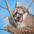 Bobcat lynx rufus chews on branch captive animal Stock Image