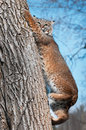Bobcat (Lynx rufus) Climbs Down Tree Royalty Free Stock Photos