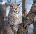 Bobcat lynx rufus climbs tree captive animal Royalty Free Stock Photo