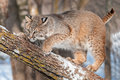 Bobcat lynx rufus crouches branch captive animal Stock Photo