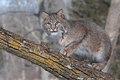 Bobcat (Lynx rufus) Crouches on Branch Looking Left Royalty Free Stock Photo