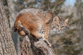 Bobcat lynx rufus crouches snowy stump captive animal Royalty Free Stock Photography