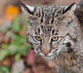 Bobcat lynx rufus head captive animal Royalty Free Stock Photo