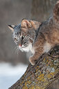 Bobcat lynx rufus looks back captive animal Royalty Free Stock Photo
