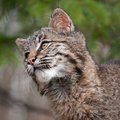 Bobcat (Lynx rufus) Looks Left Closeup Royalty Free Stock Photography