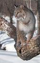 Bobcat lynx rufus looks left from tree branch captive animal Royalty Free Stock Images
