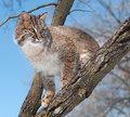Bobcat lynx rufus looks from tree branch captive animal Royalty Free Stock Photos