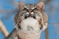 Bobcat lynx rufus looks up captive animal Royalty Free Stock Image