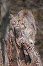 Bobcat lynx rufus perchs stump captive animal Royalty Free Stock Photo
