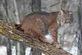 Bobcat lynx rufus sits on branch captive animal Stock Images