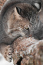 Bobcat lynx rufus sniffs and claws at branch captive animal Stock Photo