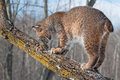 Bobcat lynx rufus sniffs at tree branch captive animal Royalty Free Stock Photos