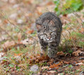 Bobcat lynx rufus stalk captive animal Stock Photo