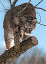 Bobcat lynx rufus stalks from tree captive animal Royalty Free Stock Photos