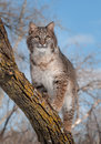 Bobcat lynx rufus stands on branch captive animal Stock Photography