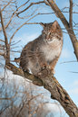 Bobcat lynx rufus stands on branch looking left captive animal Stock Images
