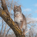Bobcat lynx rufus stands on branch looking right captive animal Stock Photos