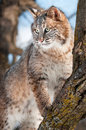 Bobcat lynx rufus stands branch tree captive animal Stock Photo