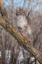 Bobcat lynx rufus stands on branch in tree captive animal Royalty Free Stock Photos
