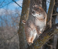 Bobcat lynx rufus stands in tree captive animal Royalty Free Stock Photography